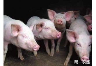 各地猪肉价格持续上涨 养猪牛市或改变猪行业新格局