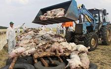俄罗斯:非洲猪瘟爆发已长达10年 预计2019年爆发事件最少