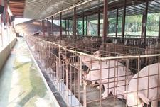 7月份福建生猪价格环比涨12.5% 已连续两个月保持两位数增长