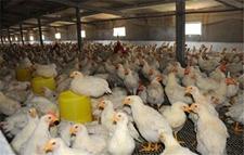 2019年我国肉鸡出栏量预计为90.49亿只