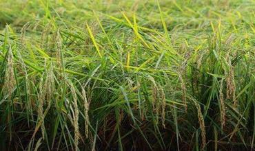 """台风""""利奇马""""过境,稻田灾后如何恢复生产?"""