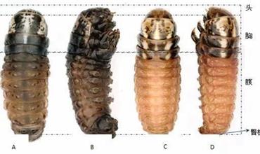 茶园茶树病虫害:茶蓑蛾和茶褐蓑蛾的区别与防治