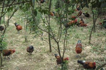 """贵州凯里:借助扶贫项目林下养鸡 香炉山鸡""""啄""""开致富门"""