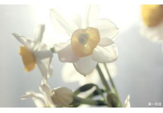 水仙花如何种植 你知道吗?