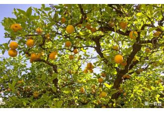 柠檬树如何种植?