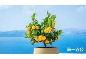 柠檬树盆栽方法 你知道吗?
