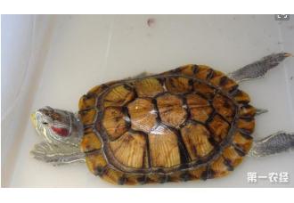 人们给乌龟正常是喂什么食物?