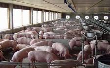 """南方地区""""猪荒""""普遍 生猪价格领跑全国"""