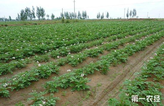 马铃薯种植,想要增产最好是掌握这七招!