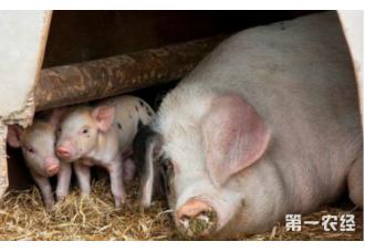 母猪的养殖方法和技术