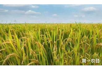 小麦每亩多收百斤原来是这样做的