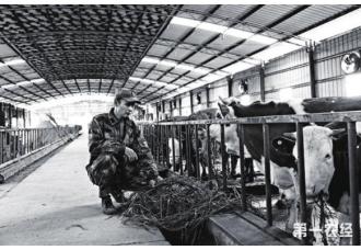 养牛先种草这样的发展效益高 你试过吗?