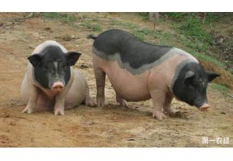 """猪生病该怎么诊断 这""""两查""""法你应该学会"""