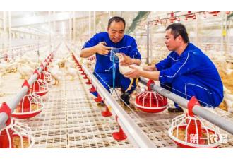 肉鸡的养殖居然促进了农增收?