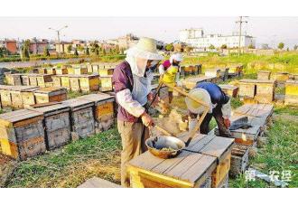 发展蜜蜂观光游 比养蜜蜂赚的还多6倍?