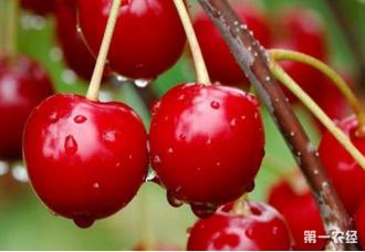 樱桃在春季种植的时候一定要注意的几点
