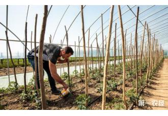 番茄如何种植 怎样做到安全无害