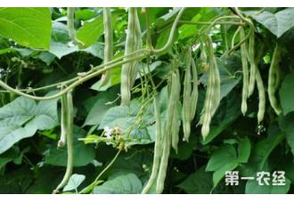 种菜豆避免这一些 优质又高产