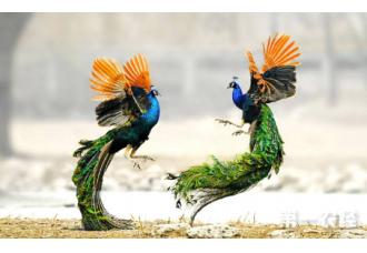 孔雀该怎么养殖才好 你知道吗?