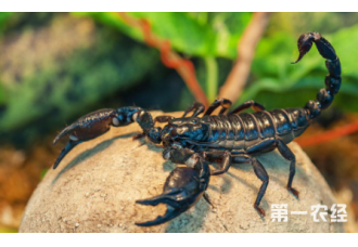 蝎子蜕皮了怎么办 该如何饲养与管理