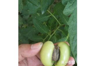 种植花果怎么避免长出畸形花果