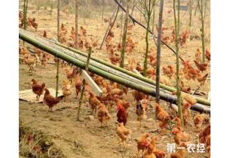 土鸡的价格多少钱一斤 今年土鸡利润分析