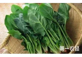 秋季种植菠菜技巧要点有哪一些