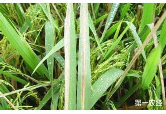 水稻感染细菌该怎么治疗和防范
