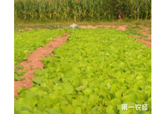 大白菜种植的技巧 做好害虫少见
