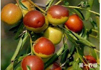 在我国南方种植冬枣未来怎么样