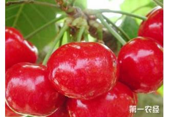 普通樱桃和大棚樱桃的种植