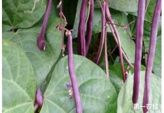在秋季如何种植豆角 如何对抗高温