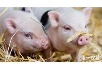 如今养猪能挣钱?生猪转型发展是大势所趋 当前正逢其时