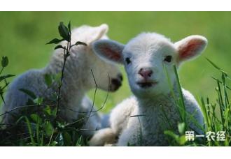 羊发烧、尿发红、眼结膜发黄应该怎么治疗 你知道吗?