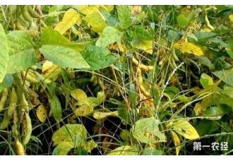 大豆的种植方法这几点要学会