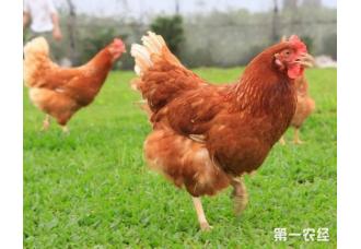 养鸡过程中免疫控制和免疫控制病的防治