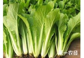 小白菜如何防病虫 了解这几个技巧无虫害