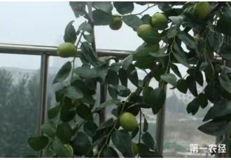 自己种枣树 不仅高产还省钱