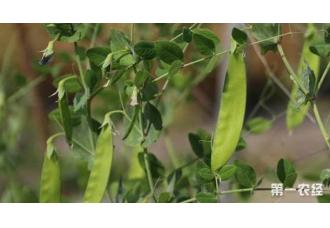 荷兰豆在秋季适合种植吗