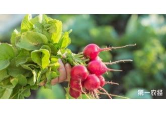 秋季种植樱桃萝卜 掌握这几个点30天就可以丰收