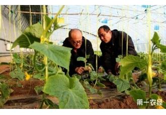 大棚黄瓜怎么种植 做好这几点高产不断