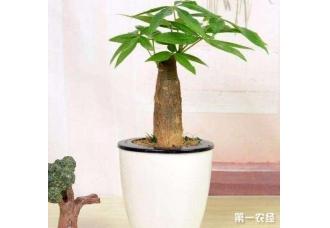 发财树这么养半年就可以变得粗大