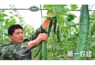 种植黄瓜喷施糖液有很多好处 都可以试一下