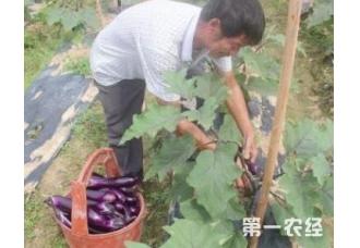 茄子种植的后期管理