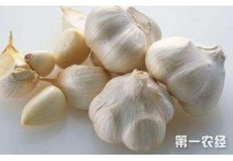 种植大蒜变畸形是什么原因该如果治疗