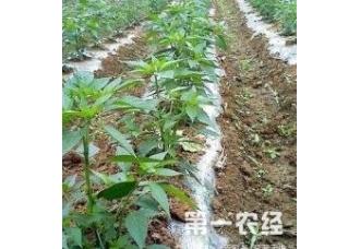 冬季来临辣椒的定植后的常见病害和防范技术