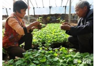 在秋季在大棚种植黄瓜前期要管理好的几个点