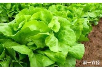 生菜的种植最佳时间是在什么时候