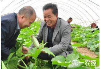 种植西葫芦的时候摘叶的方法对不对