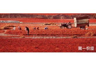 新疆6万亩辣椒大丰收 火红辣椒铺满地
